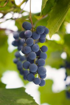 Free Red Grapes On The Twigs Royalty Free Stock Photo - 19696025