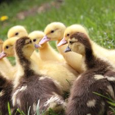 Free Ducklings Stock Photos - 19696383