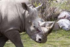 Free Wounded Rhino Royalty Free Stock Image - 19698726