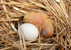 Free Baby Chick In Nest With Siblings Egg Stock Photos - 19698863