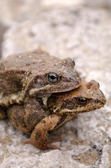Frogs Mating Stock Images