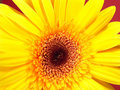 Free Yellow Gerbera Daisy Stock Photography - 1971382