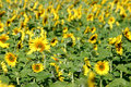Free Beautiful Sunflowers Royalty Free Stock Images - 1977409
