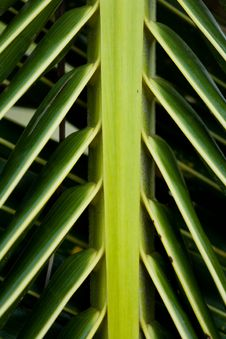 Free Palm Tree Leaf Stock Image - 1970201