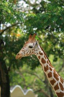 Free A Pretty Giraffe 2 Royalty Free Stock Photography - 1971057