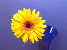 Free Yellow Gerbera Daisy Stock Images - 1971354