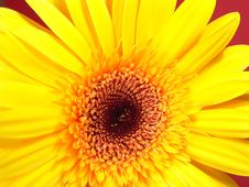 Yellow Gerbera Daisy Stock Photography