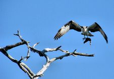 Free Osprey With A Fish Stock Photography - 1972552