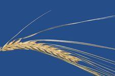 Wheat - Macro Photo Royalty Free Stock Images