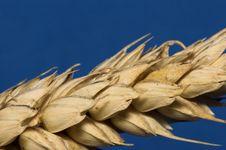 Wheat - Macro Photo Royalty Free Stock Image