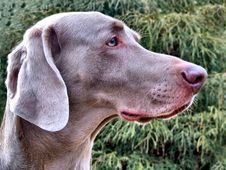 Free Weimaraner Profile Royalty Free Stock Images - 1972869