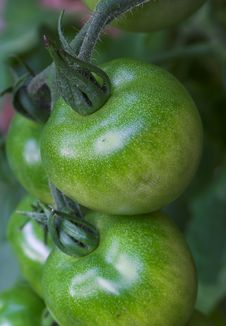 Free Green Tomato Royalty Free Stock Photography - 1973517