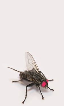 Free Red Eyed Fly Stock Images - 1973714