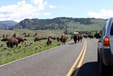 Free Bison On Road Royalty Free Stock Photos - 1973778