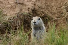 Free Prairie Dog In Wyoming Royalty Free Stock Images - 1973789