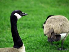 Free Canadian Goose Stock Photography - 1976312
