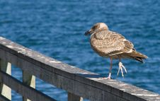Free Seagull Perched On Pier Rail Royalty Free Stock Photography - 1977497