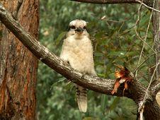 Free Kookaburra Stock Photography - 1979432