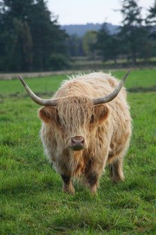 Free Highland Cattle Royalty Free Stock Photography - 1979627