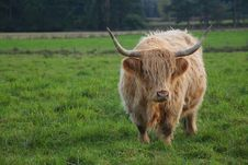 Free Highland Cattle Royalty Free Stock Photography - 1979687