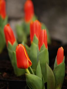 Free Tulips Stock Photos - 1979783