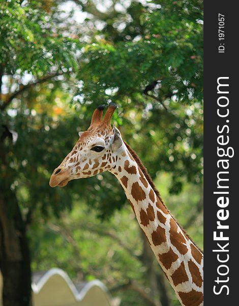 A Pretty Giraffe 2