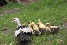 Free Duck And Ducklings Stock Photo - 19700430