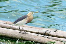 Free Javan Pond Heron Royalty Free Stock Photos - 19701778