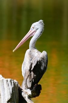 Free Pelican Stock Photos - 19701833