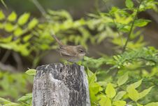 House Wren, Troglodytes Aedon Royalty Free Stock Images