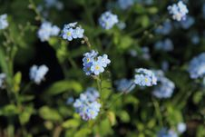 Free Forget-me-not Flowers Royalty Free Stock Images - 19702339