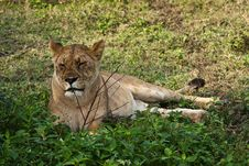 Free Lioness Resting Stock Images - 19702604