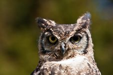Free Owl Stock Images - 19702704