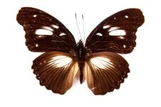 Brown And White Butterfly Hypolimnas Dinarcha Royalty Free Stock Photos