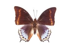 Free Brown And Blue Butterfly Charaxes Euryalus Stock Image - 19703051