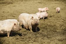 Free Family Of Pigs Royalty Free Stock Image - 19703466