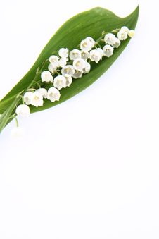 Free Lily Of The Valley Stock Image - 19704371