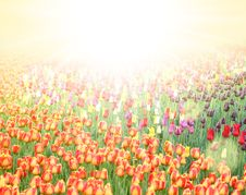 Free Field With Tulips Stock Photo - 19704470