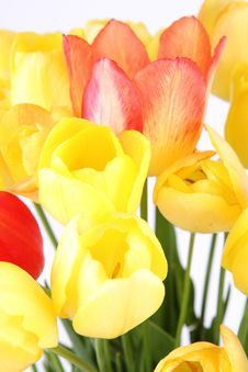 Free Tulips Stock Photo - 19705600