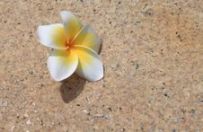Free Plumeria Flower On The Ground Stock Images - 19706104