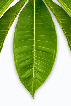 Free The Fresh Green Leaves Stock Images - 19706724