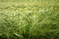 Free Green Wheat Field Background Stock Image - 19707091
