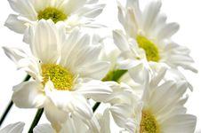Free Beautiful White Daisy Stock Photos - 19707103