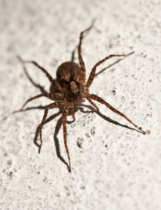 Free Spider Royalty Free Stock Photo - 19707515