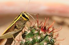 Free Yellow Back Grasshopper Royalty Free Stock Photos - 19707558