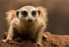 Free Mongoose Royalty Free Stock Images - 19707899