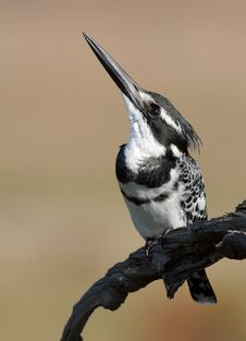 Free Pied Kingfisher Royalty Free Stock Photos - 19707918