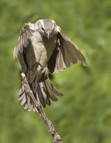 Free Grey Headed Sparrow Stock Photography - 19707982