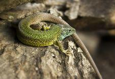 Green Lizard Sitting On A Bark Stock Photos