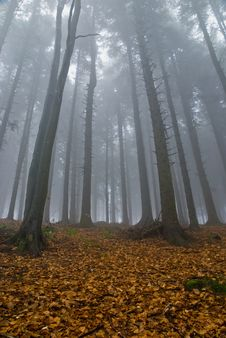 Free Foggy Forest Royalty Free Stock Image - 19708186